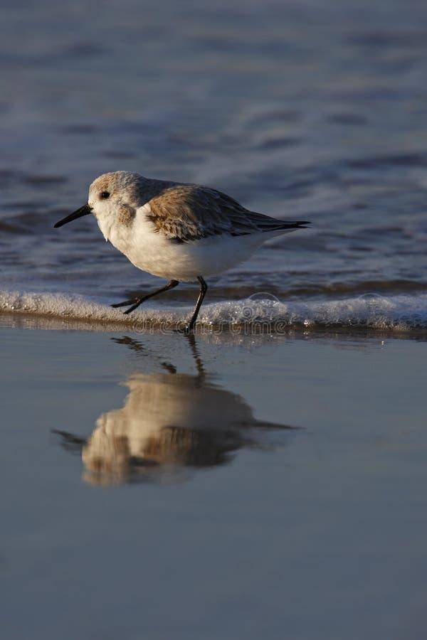 Sanderling (alba die Calidris) in branding loopt royalty-vrije stock foto