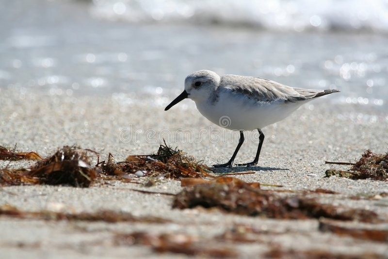Download Sanderling on the beach stock image. Image of sandpipers - 451413