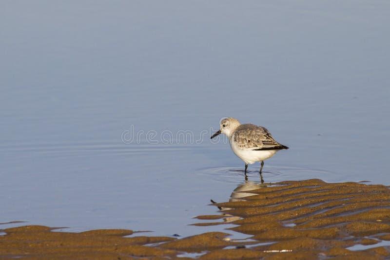 Download Sanderling (Calidris alba) stock photo. Image of feathers - 26596096