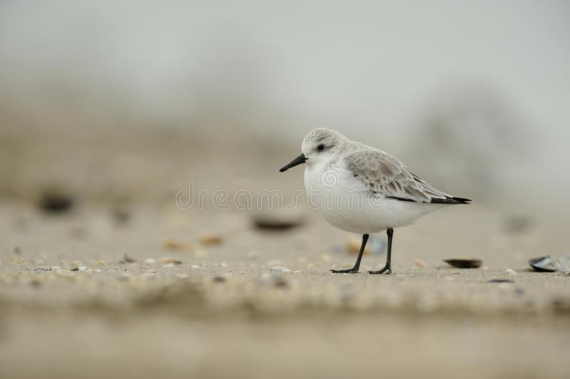 Sanderling (Calidris alba) stock images