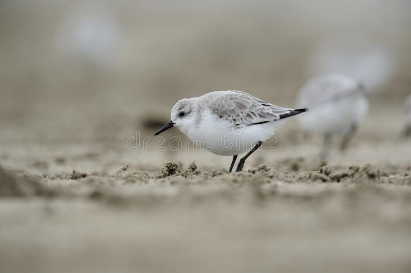Sanderling (Calidris alba) royalty free stock photo