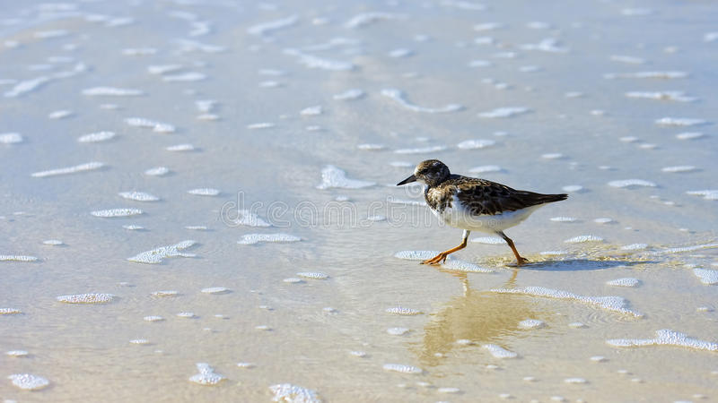 Sanderling (Calidris alba) royalty free stock images