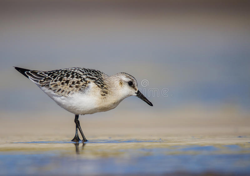 Sanderling - Calidris albumy obrazy stock