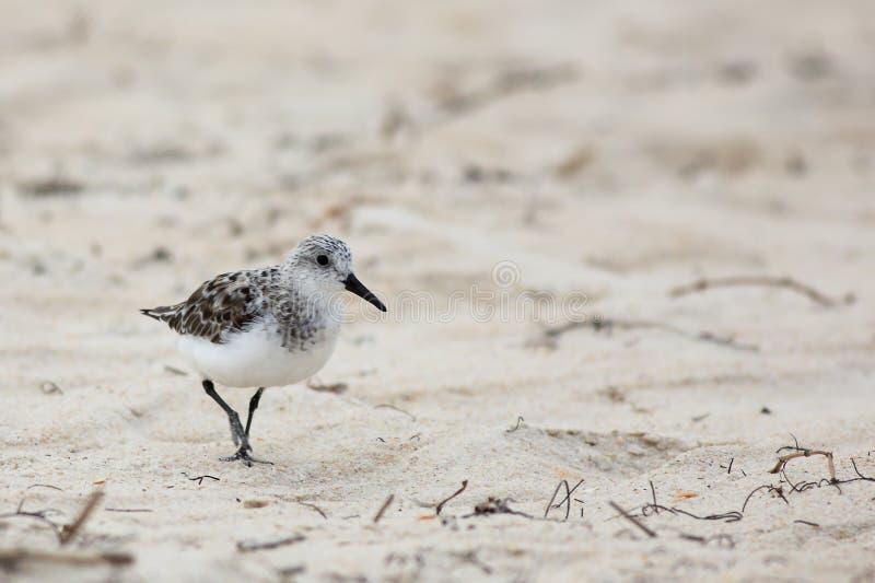Sanderling che cammina sulla sabbia della spiaggia fotografia stock