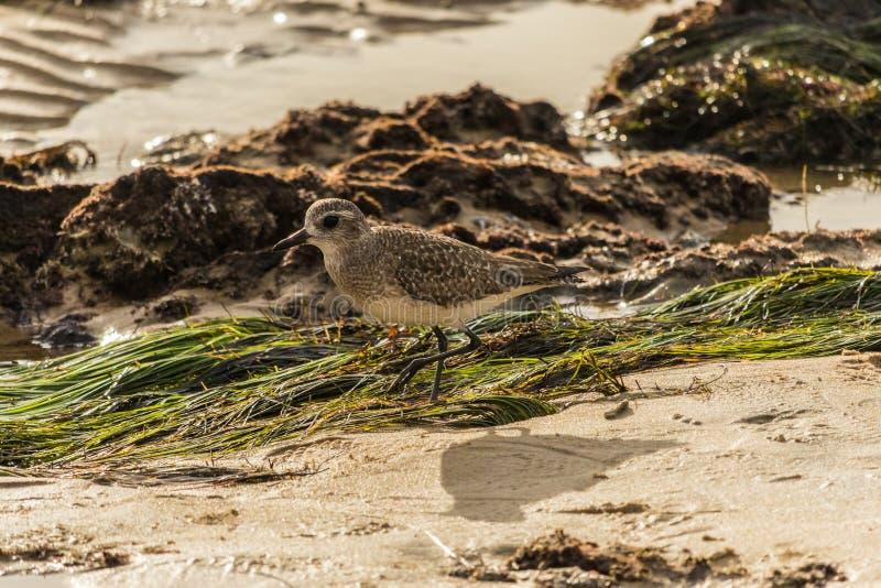 Sanderling do borrelho na praia de Califórnia fotos de stock