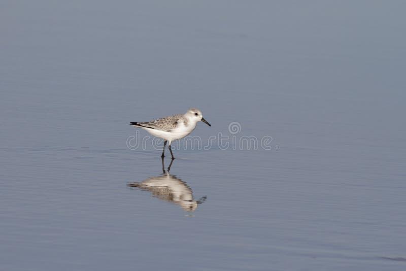 Sanderling e la sua riflessione nella sabbia bagnata fotografie stock libere da diritti