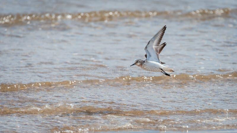Sanderling en vol devant la mer un jour ensoleillé photographie stock