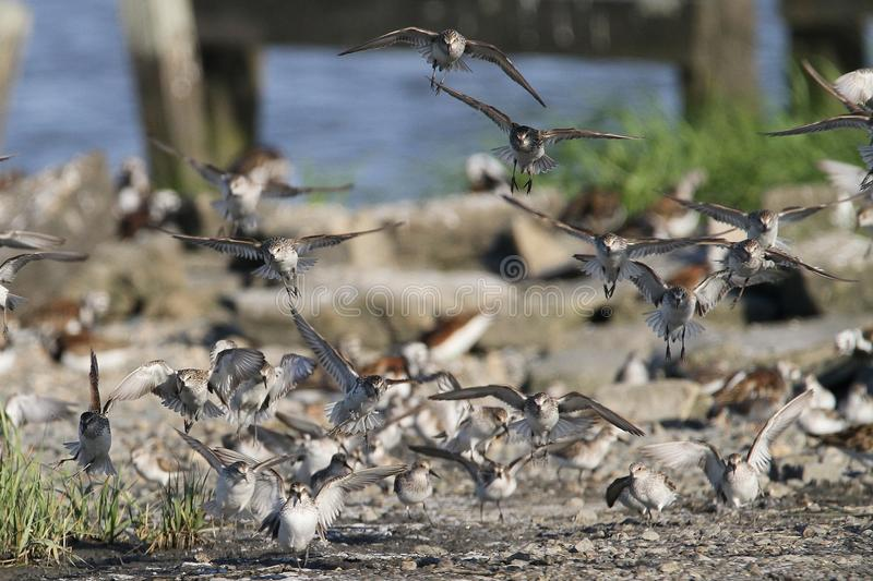 Sanderling Flock Coming in for a Landing. Annually, thousands of shorebirds converge on the Delaware coast to consume Horseshoe Crab Eggs. This picture was taken stock photo