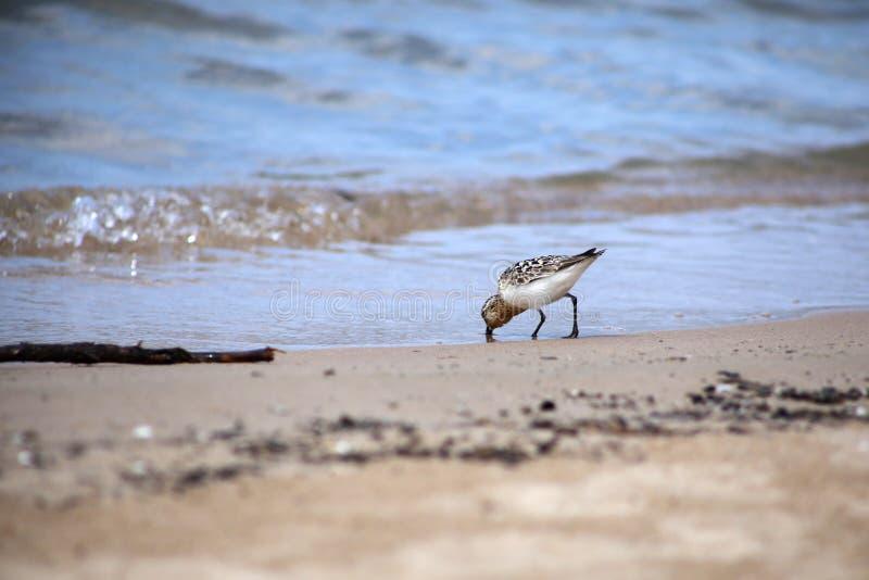 Sanderling na costa do Lago Huron foto de stock royalty free