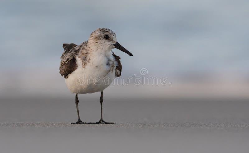Sanderling na plaży zdjęcia royalty free