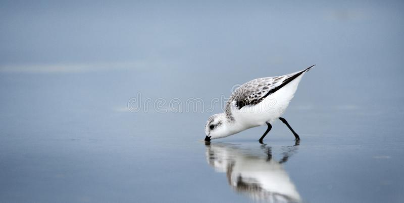 Sanderling Sandpiper-Ufervogel auf Hilton Head Island Beach, South Carolina lizenzfreies stockbild
