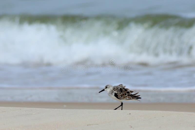 Sanderling solitaire marchant au bord de mer photo stock