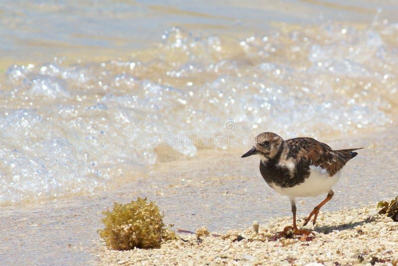 Sanderling spacery zdjęcie stock