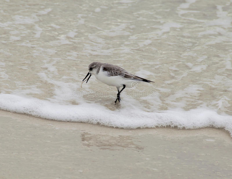Sanderling on the water stock photos