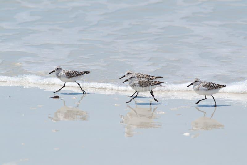 Download Sanderlings immagine stock. Immagine di acqua, aves, nave - 30828259