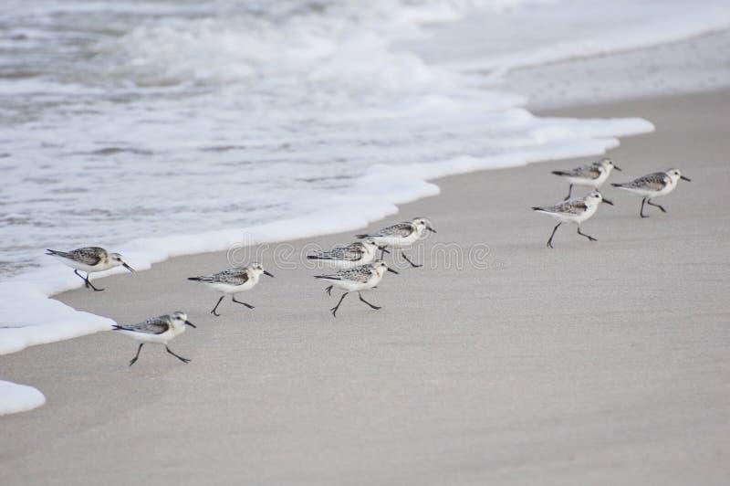 Sanderlings images libres de droits