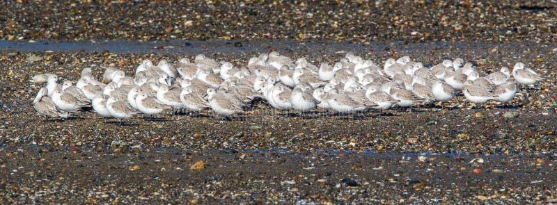 Sanderlings photographie stock libre de droits