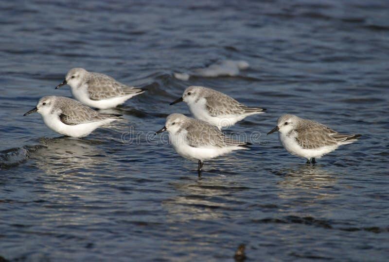 Sanderlings royalty-vrije stock foto
