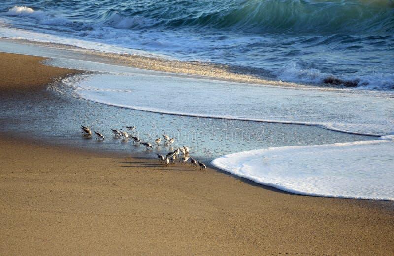 Sanderlings & x28 Calidris alba& x29  ταΐζοντας κατά μήκος της ακτής στην παραλία δυτικών οδών στο νότιο Λαγκούνα Μπιτς, Καλιφόρν στοκ εικόνες