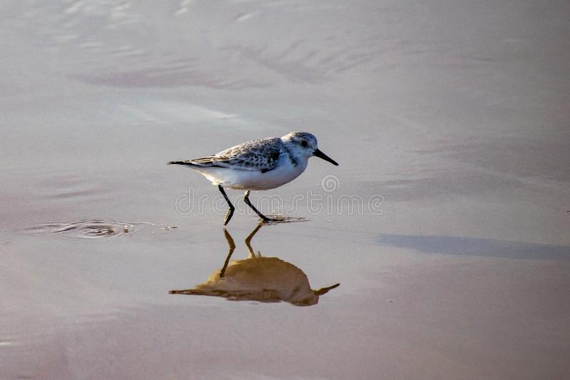 Sanderlings Calidris alba small wading birds searching for food at the waters edge in Agadir, Morocco, Africa. Shallow water stock images