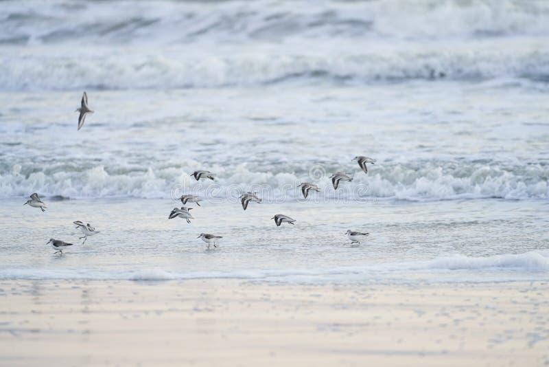 Sanderlings die in het Water van Florida landen royalty-vrije stock fotografie
