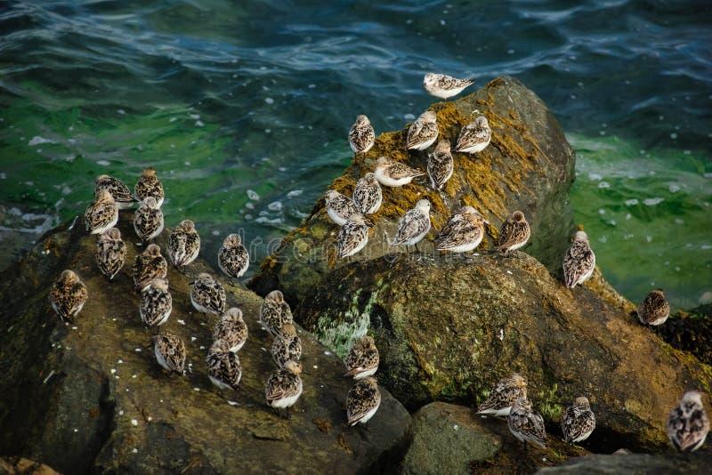 Sanderlings el birdwatching en Dublín irlanda fotos de archivo