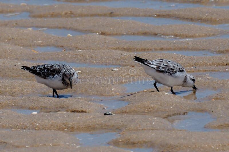 Sanderlings Lub Calidris albumy Na Praia Robią Barril Portugalia zdjęcia stock