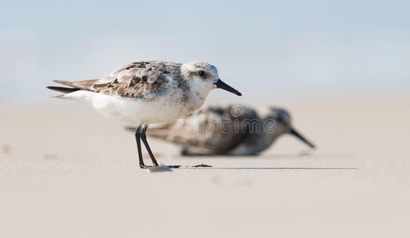 Sanderlings na plaży obrazy royalty free