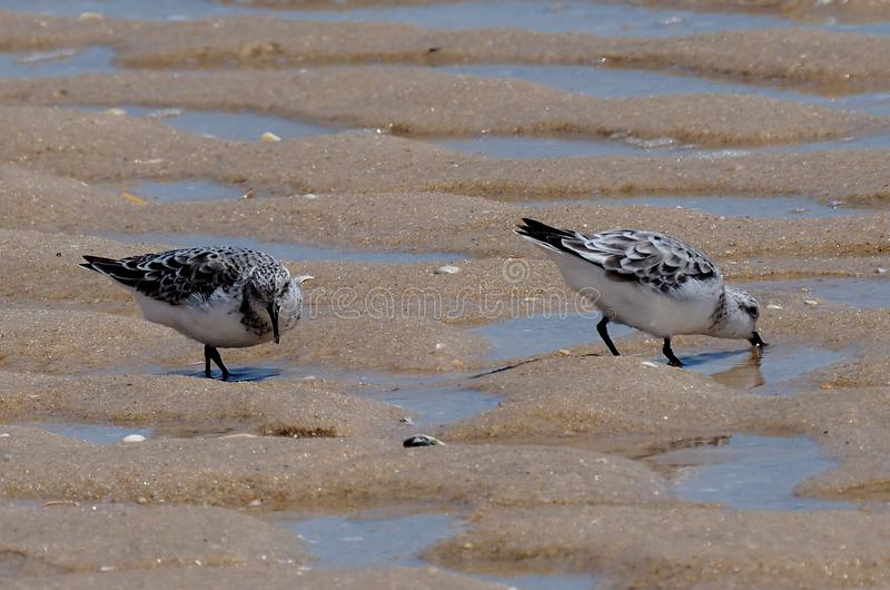Sanderlings o Calidris Alba On Praia Do Barril Portugal fotos de archivo