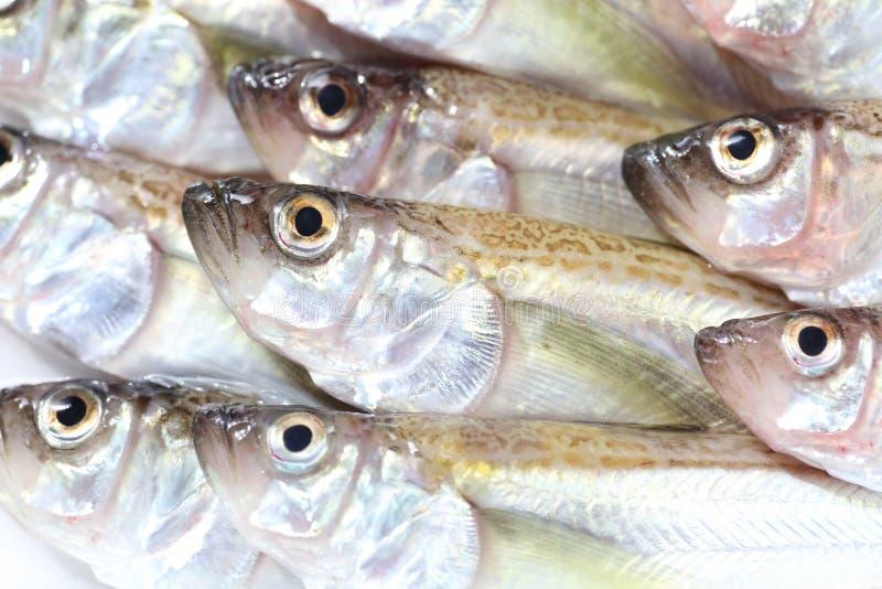 Sandfish de Sailfin image stock