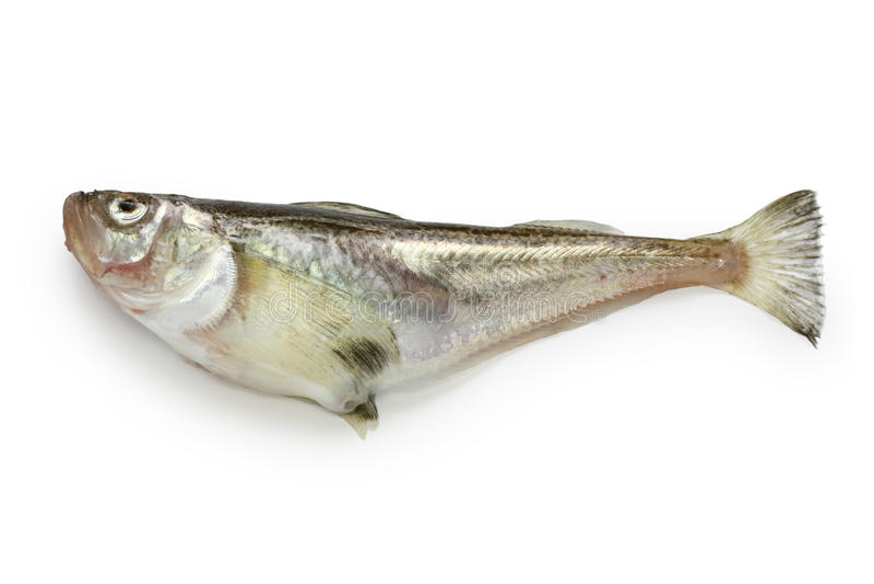 Sandfish de Sailfin, sandfish japonais photo stock