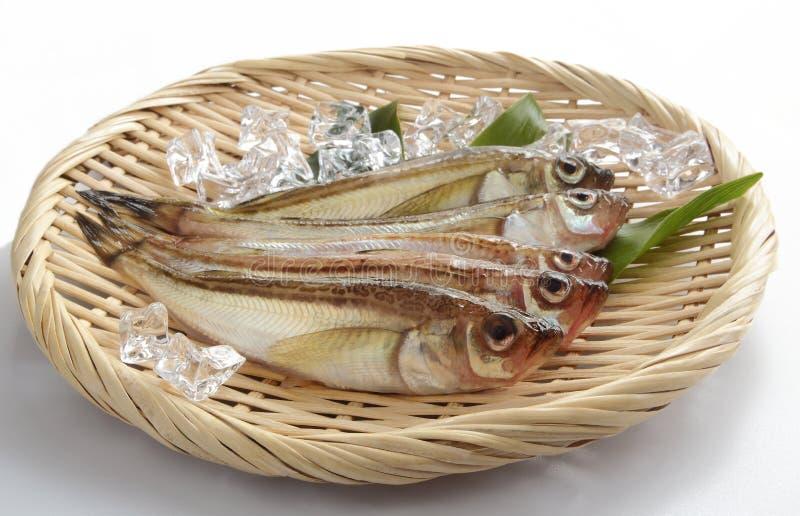 Sandfish frais avec le glaçon sur la passoire photos libres de droits