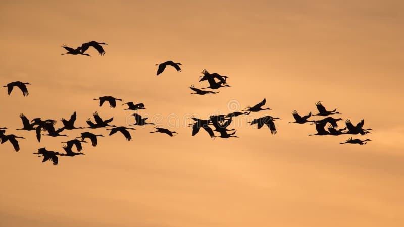 Sandhill抬头与金黄黄色和橙色天空的在飞行中由后面照的剪影在黄昏/日落在秋天迁移时在Crex 免版税库存图片