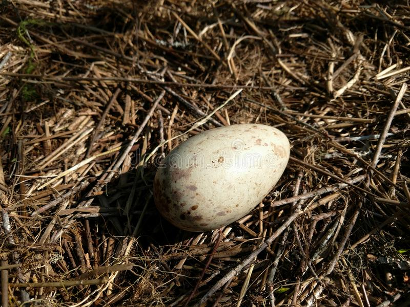 Sandhill起重机鸡蛋 免版税图库摄影