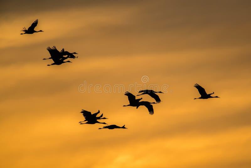 Sandhill żurawie w lot backlit sylwetce z złotym koloru żółtego, pomarańcze niebem przy i/ obrazy royalty free