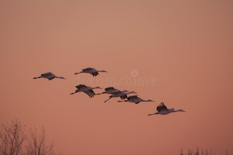 Sandhill вытягивает шею летание стоковая фотография
