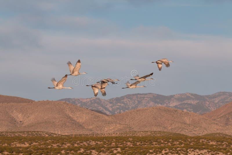 Sandhill вытягивает шею летание стоковая фотография rf