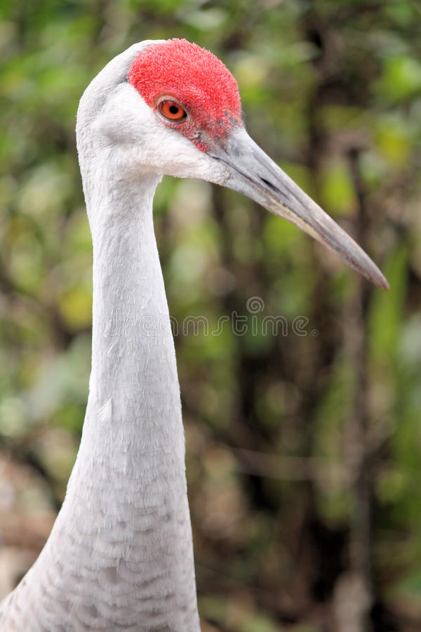 Download Sandhill Crane stock image. Image of feathers, america - 12894497