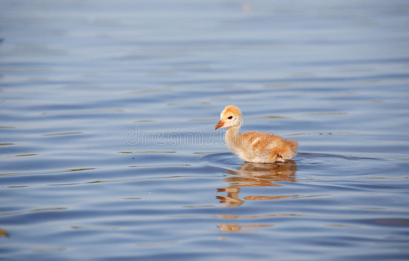 Sandhill crane baby chick. In Burnaby lake, April 2015 stock image