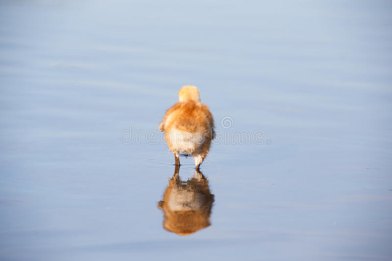 Sandhill crane baby chick. In Burnaby lake, April 2015 royalty free stock image