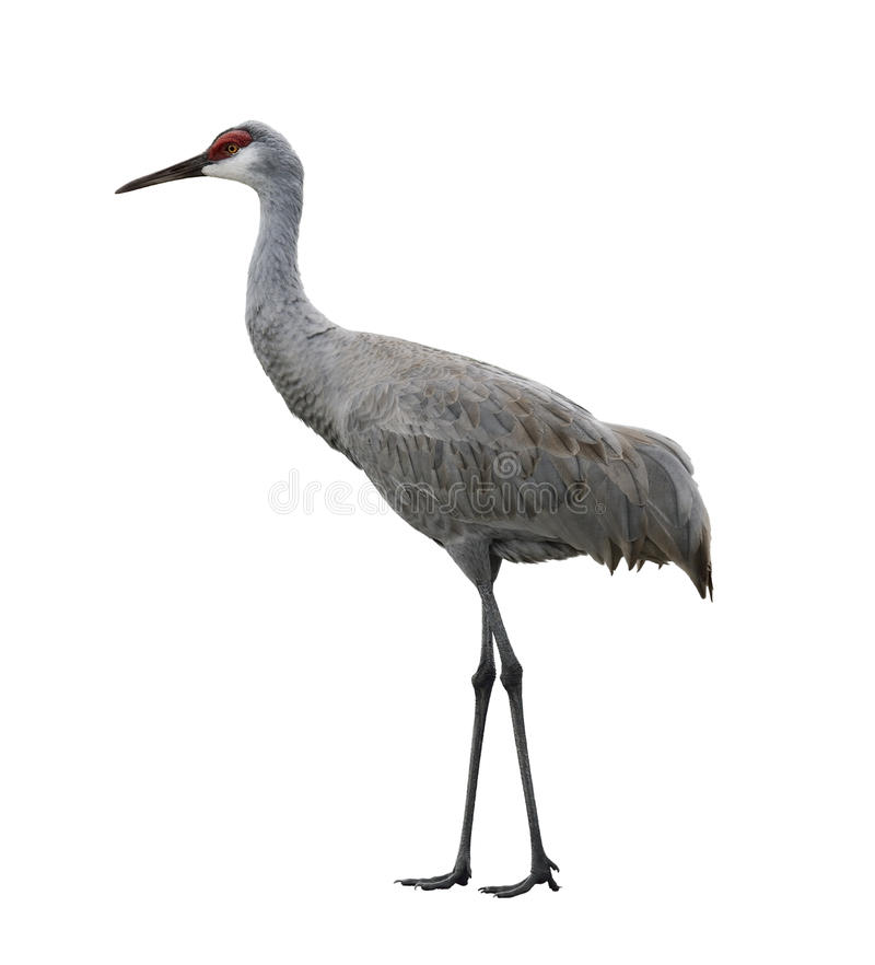 Sandhill Crane Bird photo stock