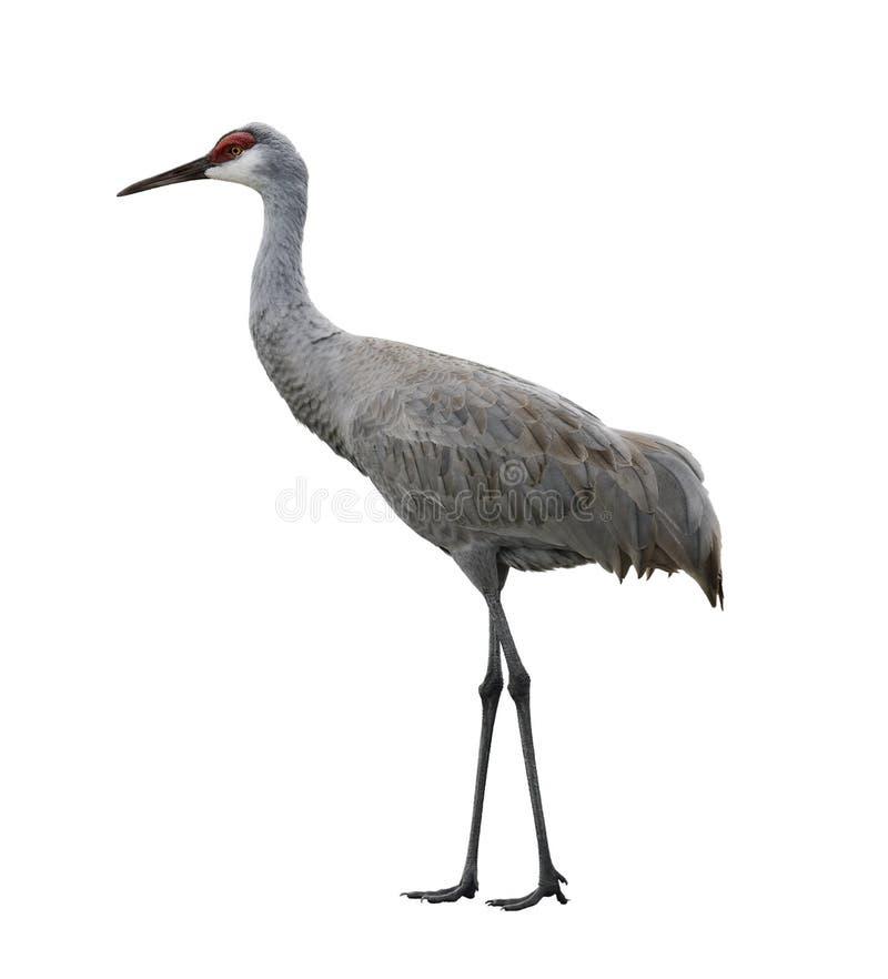 Sandhill Crane Bird stock photo
