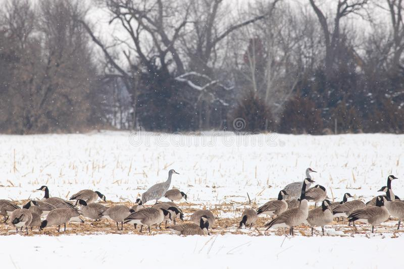 Sandhill Crane and Canada Geese in Winter. Sandhill Cranes and Canada Geese look for food in a cornfield near the Platte River as they prepare for spring stock photography
