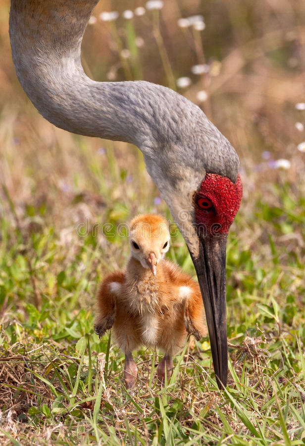 Sandhill Crane with Chick stock images