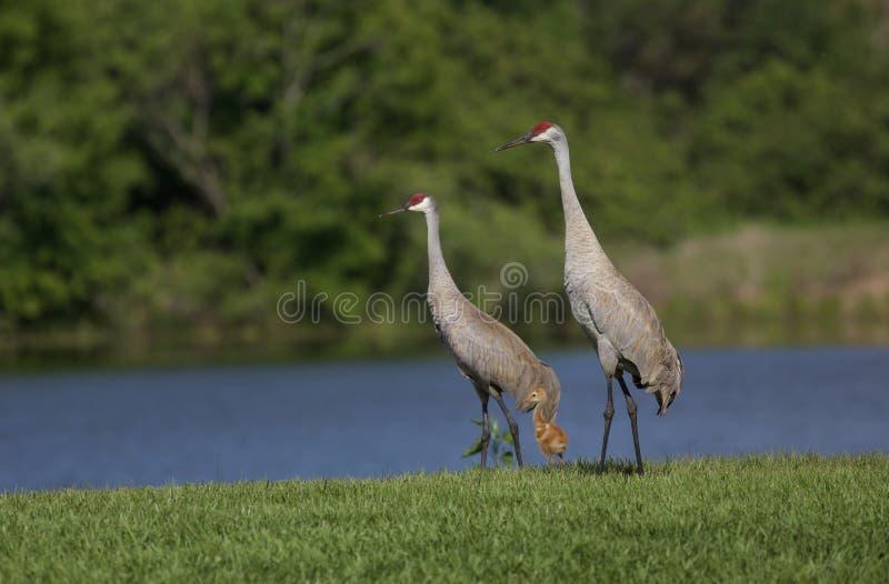 Sandhill Crane Family fotografia stock libera da diritti