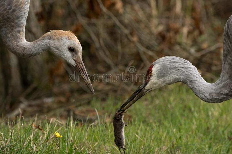 Sandhill crane feeding it`s colt with a freshly caught vole stock photos