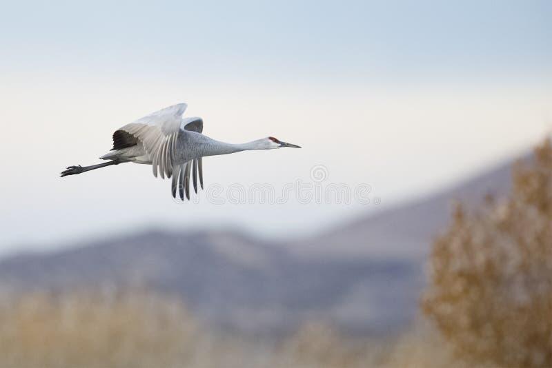 Sandhill Crane in flight - Bosque del Apache NWR - New Mexico. Sandhill Crane Grus canadensis in flight with the mountains of Bosque del Apache National Wildlife stock photo