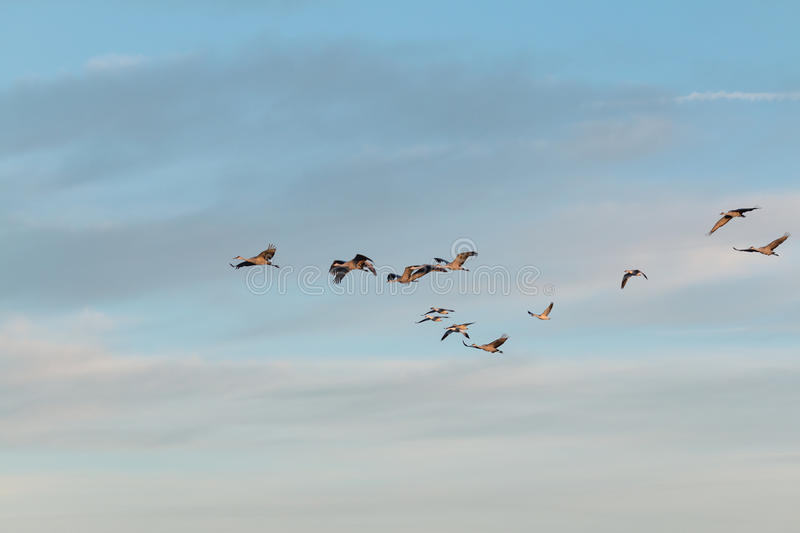 Sandhill Crane Flock photo stock