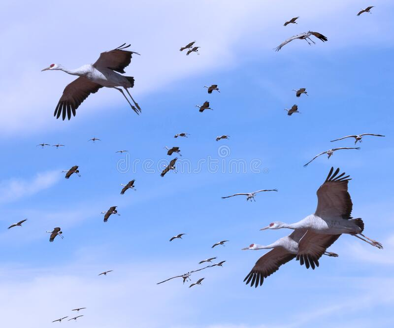 A Sandhill Crane Flock in the Pale Blue stock photo