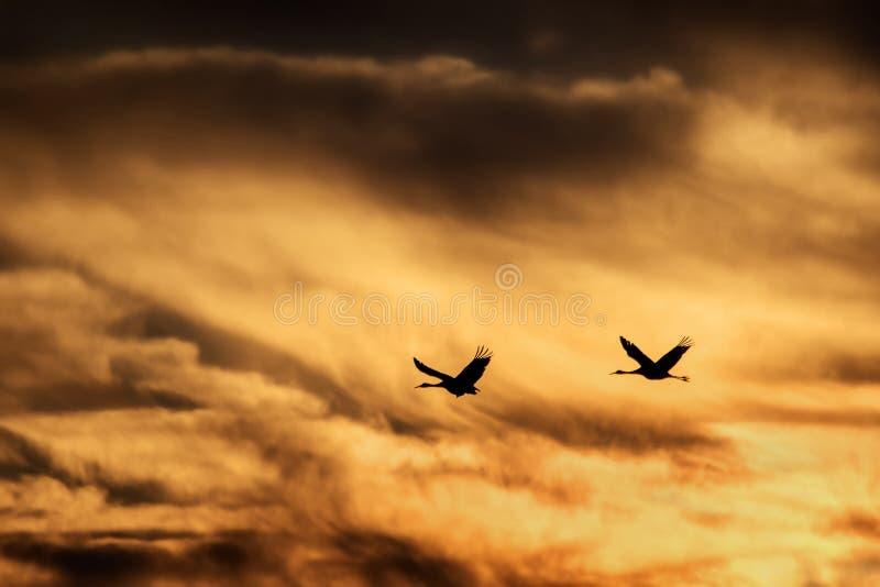Sandhill Crane Flying dans le coucher du soleil photographie stock libre de droits